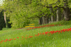 Red Tulips. Beautiful red tulips on grass Stock Photography