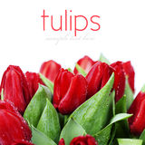 Red tulips. Fresh red tulips on white background Royalty Free Stock Photos