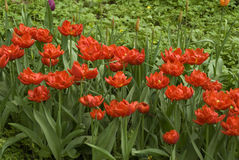 Red tulips royalty free stock image