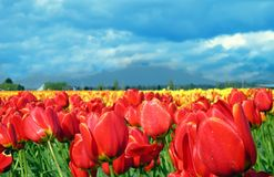 Red Tulips. Tulips at the Skagit Valley tulip festival Stock Image
