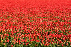 Red Tulips. A field of red Tulips Royalty Free Stock Images