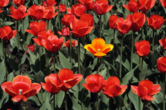 Red tulips. Royalty Free Stock Images