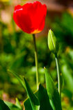 Red tulips. Against a background of green grass Stock Images