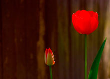 Red tulips. Against a background Royalty Free Stock Photography