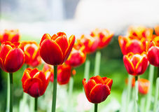 Red tulips Stock Photos