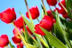 Red tulips. On blue sky background close-up Stock Photos