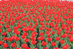 Red tulips. A lot of bright red tulips on a sunny spring day Royalty Free Stock Images