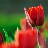 Red tulips Stock Photo