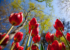 Red tulips. Natural red tulips at the park Stock Photo