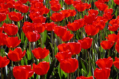 Red Tulips. Mass of Red Tulips in Sunlight Royalty Free Stock Images