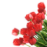 Red Tulips. Bouquet red freshness tulips. Isolated background Royalty Free Stock Photos