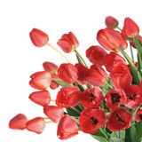 Red Tulips. Bouquet red freshness tulips. Isolated background Stock Photo