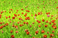 The Red tulips. The Red tulips blossom in early summer stock image