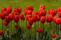 Red Tulips. In bloom in the garden Stock Image