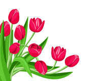 Red tulips. Vector illustration. Stock Photos