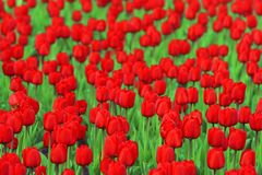Red tulips. Dozens of red tulips with green leafs on background Stock Photography