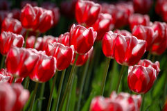 Red tulips. Red tulip flowers blooming under the sun Stock Images