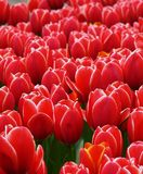 Red tulips. A field or red tulips with white borders Stock Photos
