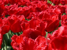 Red Tulips. A bed of flowers full of beautiful red tulips Royalty Free Stock Photography