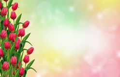 Red tulips. In the colorful  background with bokeh Stock Photos