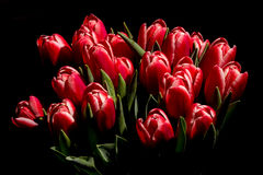 Red tulips. Photo of red tulips on black background stock image