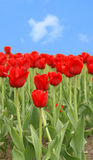 Red tulips. On clear sky background Stock Photos