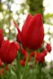Red Tulips. In Keukenhof Royalty Free Stock Images
