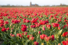 Red tulips. A field of red flowers royalty free stock image