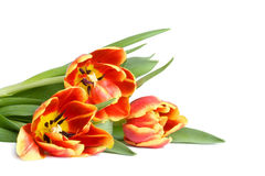 Red tulips. Bouquet of red tulips isolated Royalty Free Stock Photos