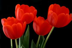 Red Tulips. In bloom on black background stock images