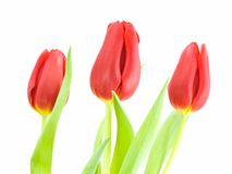Red Tulips. Three red tulips with the focus on the middle tulip, isolated on white Royalty Free Stock Photography