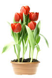 Red tulips. In brown pot isolated on white background Stock Photos