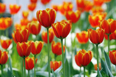 Red tulips stock photography