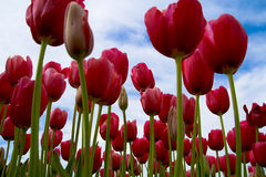 Free Red Tulips Royalty Free Stock Images - 5000749