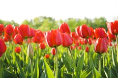 Red tulips. Field close up Stock Photo