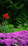 Red Tulips. Behind a bed of purple flowers Royalty Free Stock Image
