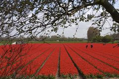 Red Tulips. In the field just before they are picked. Or rather beheaded to conserve the bulbs. Inspectors checking the crop Stock Images