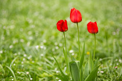 Free Red Tulips Stock Photography - 55144252