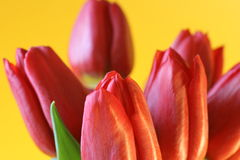 Red tulips. Closeup of red tulips on a yellow background Royalty Free Stock Photo