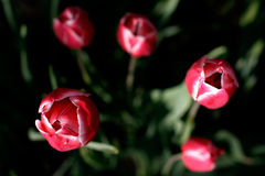 Red Tulips. 5 Red Tulips, Macro royalty free stock image