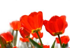 Red tulips. Partly isolated over white Stock Photo