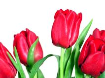 Red tulips. Isolated on white royalty free stock photo