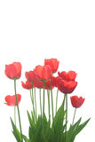 Red tulips. Red tulips isolated on white background Stock Image