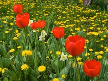 Red tulips. Dafodils and dandelions in spring time stock photos