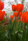 Red tulips. Close-up in springtime royalty free stock photo