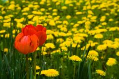 Red tulips. In dandelion field royalty free stock photos