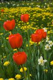 Red tulips. And spring flowers royalty free stock image