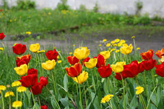 Red tulips. Beautiful red and yellow tulips - Spring Stock Images