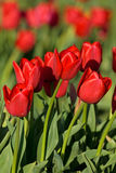 Red tulips. Tulip festival in Skagit Valley, Washington state Royalty Free Stock Photography