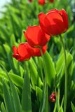 Red tulips. Red tulip festival royalty free stock images